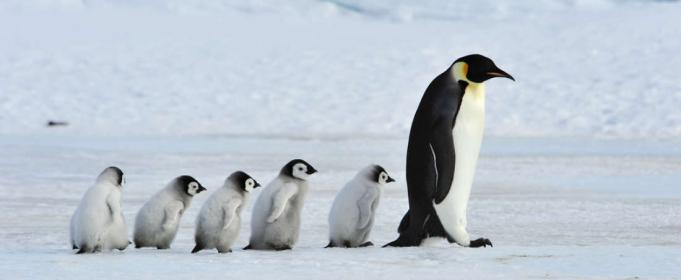 pingvinlar